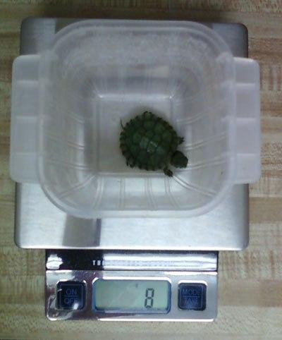 Взвешивание черепахи при помощи кухонных часов