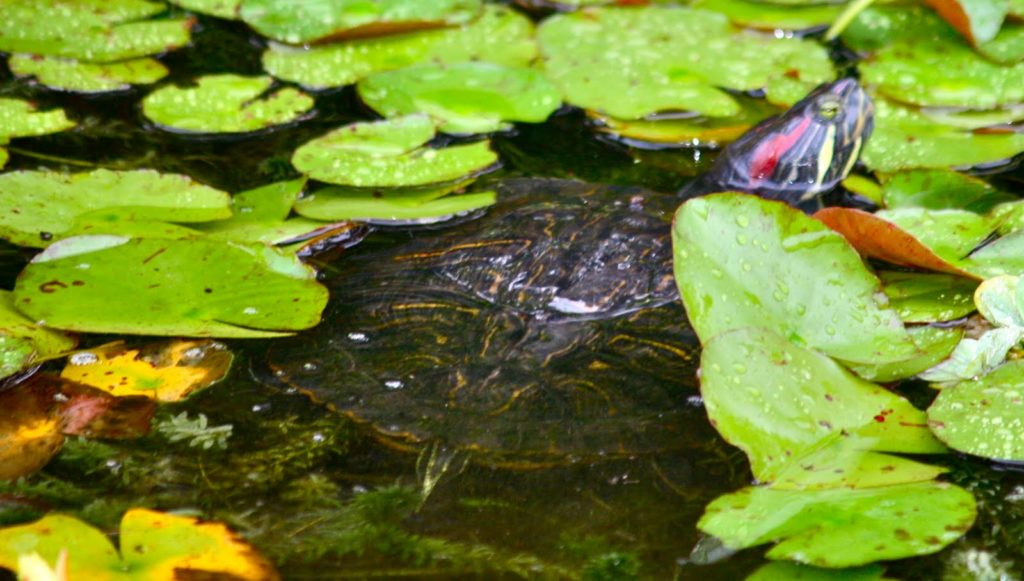 Красноухая черепаха плавает в пруду