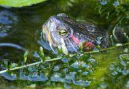 Голова красноухой черепахи торчит из пруда