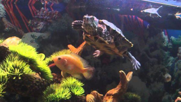 Красноухая черепаха в аквариуме с рыбками
