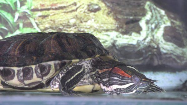 Красноухая черепаха спит