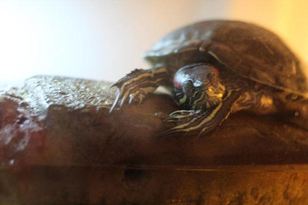 Красноухая черепаха уснула