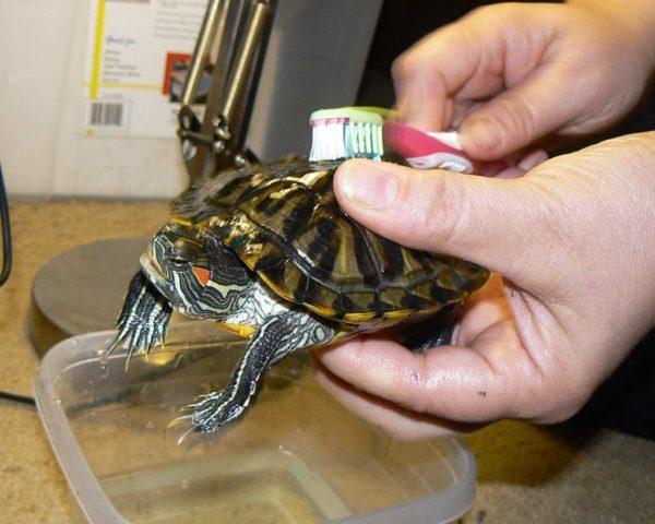Купание красноухой черепахи