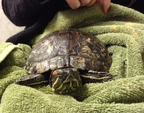 После купания вытираем насухо красноухую черепаху полотенцем
