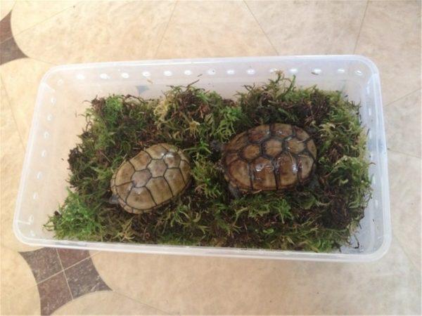 Контейнер с мхом для спячки сухопутных черепах