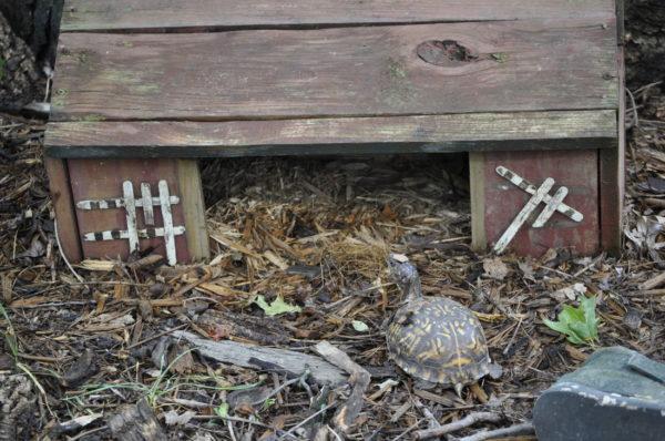 Зимовка сухопутной черепахи в саду в специальном домике