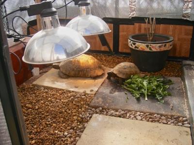 Прогревание сухопутных черепах