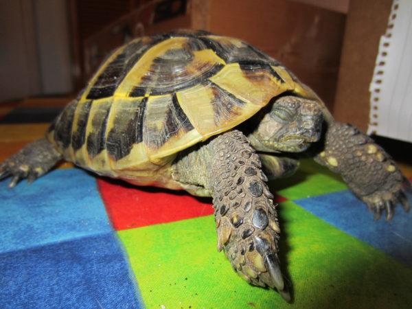 Сухопутная черепаха спит