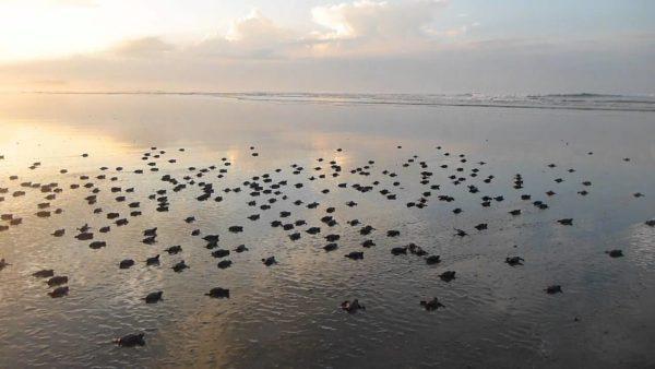 Новорожденные черепашки устремились к морю