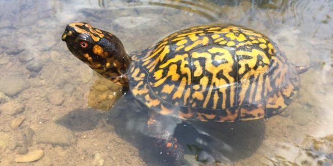 Сухопутная черепаха плавает