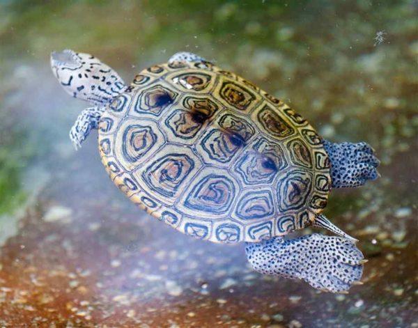 Пресноводная черепаха плавает