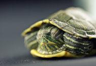 Черепаха прячется в панцире