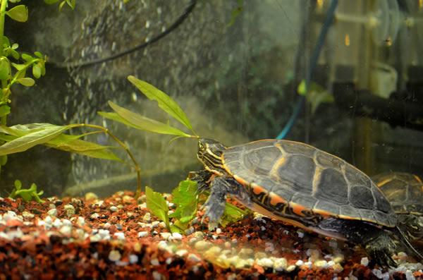 Черепаха в аквариуме с растениями