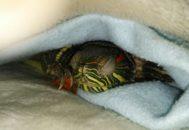 Красноухая черепаха спит под одеялом