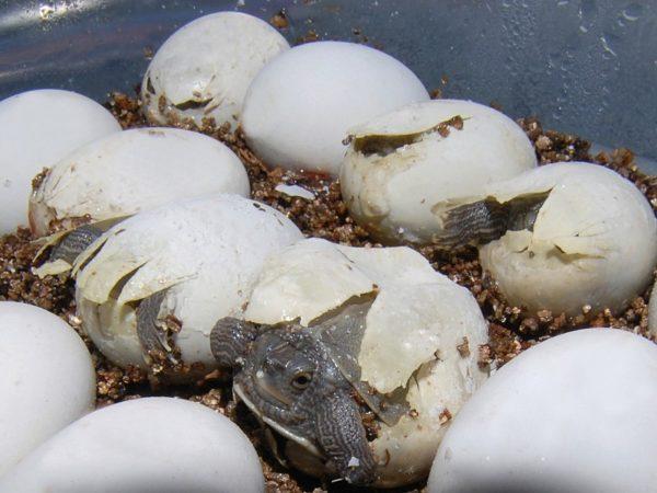 Черепашки вылупляются из яиц