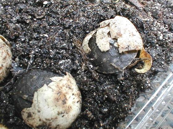 Грунт для черепахи для откладывания яиц