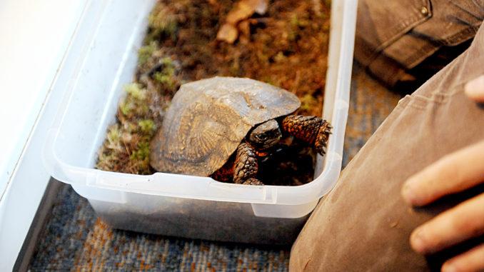 Черепаха в контейнере для зимовки