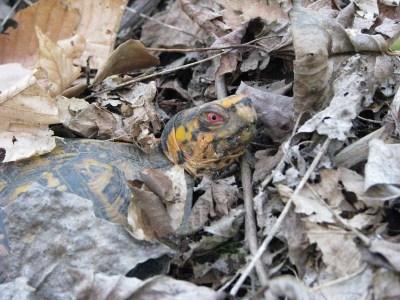 Черепаха зарылась в листьях