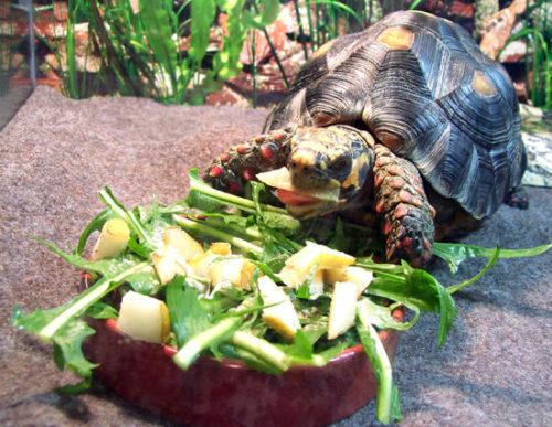 Размер порции еды для сухопутной черепахи