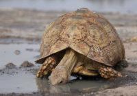 Сухопутная черепаха пьет воду из лужи