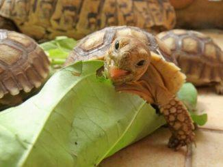Сухопутная черепаха ест капустный лист
