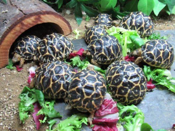 Кормление сухопутных черепах