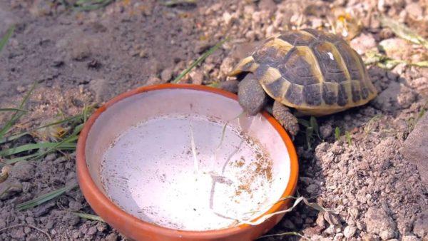 Черепаха пьет из поилки