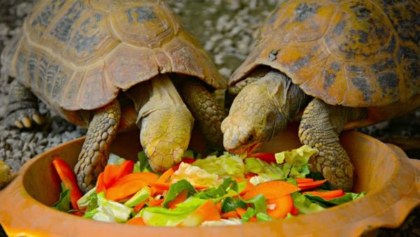 Сухопутные черепахи едят овощи и зелень