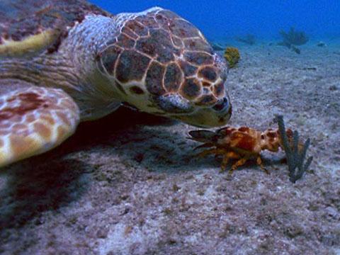 Морская черепаха ест краба