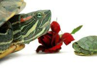 Красноухая черепаха и роза