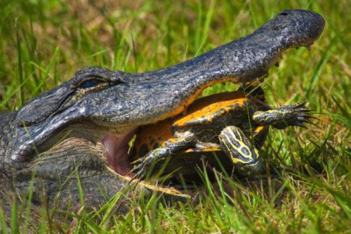 Крокодил ест черепаху