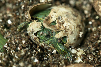 Красноухая черепаха вылупляется из яйца