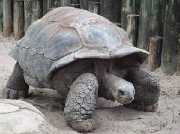 Исполинская черепаха Адвайта