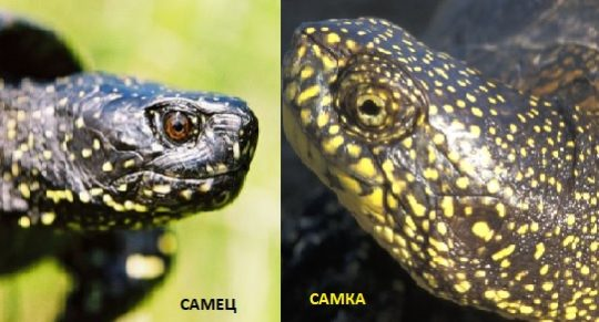 Как отличаются глаза у самки и самца черепахи