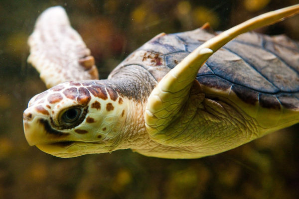 Головастая черепаха