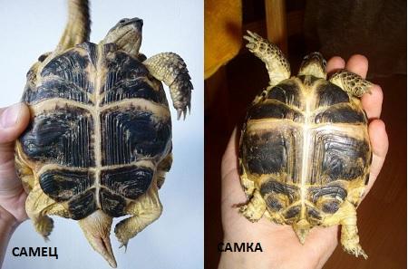 Как отличаетсяхвост у самки и самца черепахи