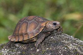 Индийская черепаха