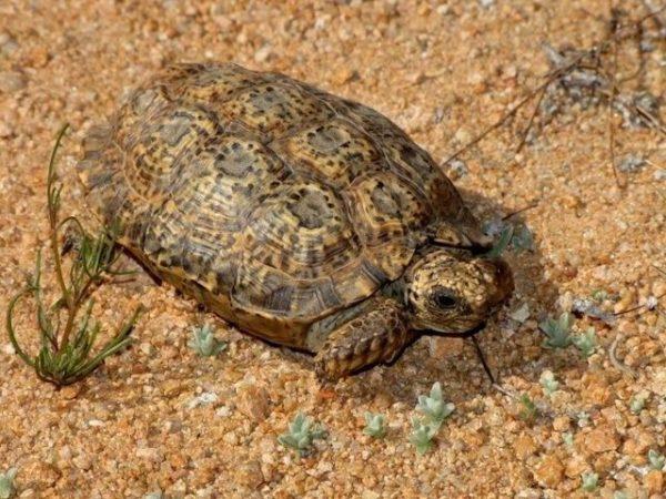Капская крапчатая - самая маленькая сухопутная черепаха