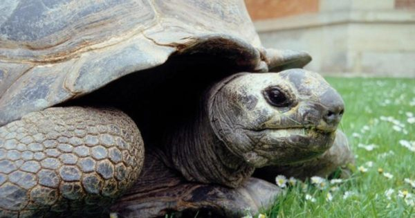 Исполинская черепаха Кики