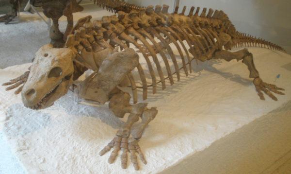 Скелет котилозавра