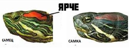 Как отличается морда у самки и самца черепахи