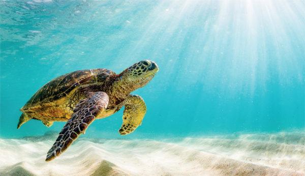 Зеленая черепаха плывет в океане