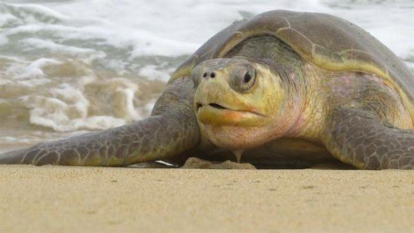 Оливковая морская черепаха