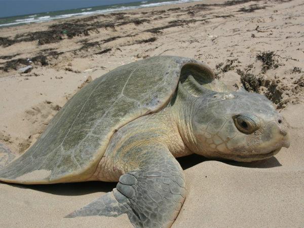 Черепаха Атлантическая ридлея - самая маленькая морская черепаха