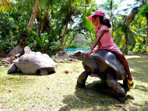 Сейшельская черепаха катает ребенка