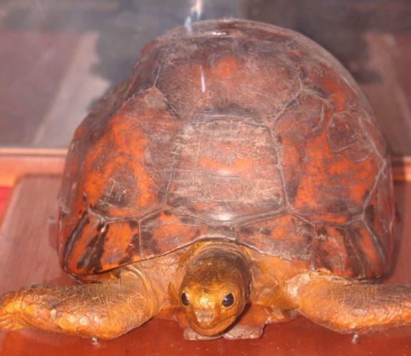 Сохранившееся тело черепахи Туи Малилы
