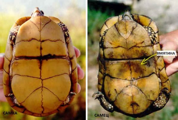 Отличие самки от самца черепахи