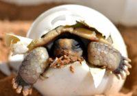 Черепаха вылазит из яйца