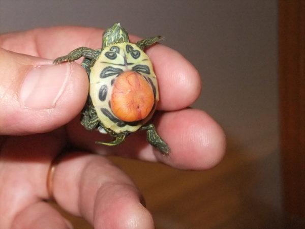 Желточный мешок у черепахи