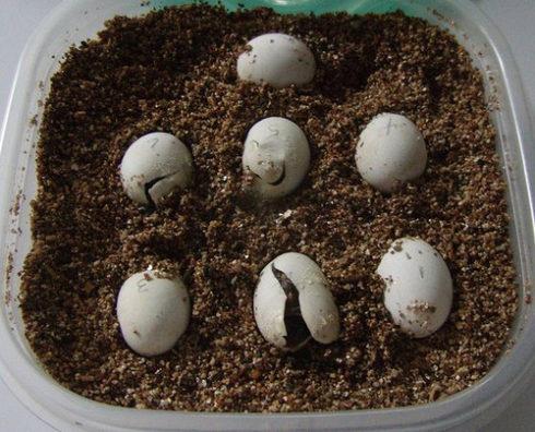 Рождение черепахи - растрескивание скорлупы